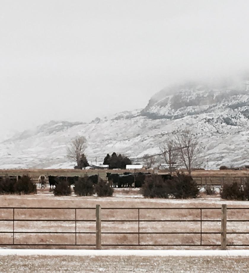 cow snow