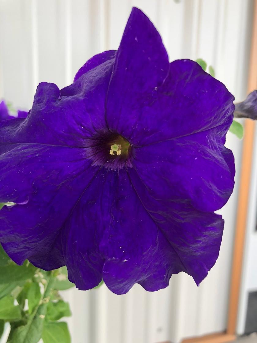 Gramma B's purple petunia